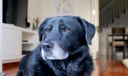 Geriatric Black Labrador